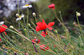 Flickr - Duncan~ - More Poppies.jpg