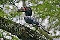 Flickr - Rainbirder - Trumpeter Hornbill (Bycanistes buccinator).jpg