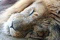 Flickr - law keven - The Lion sleeps tonight.....jpg