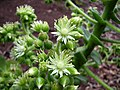Flor Bejeque (Aeonium canariense).JPG
