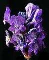 Flor de lavanda (5811949611).jpg