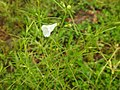 Flora from Madayipara DSCN2620.jpg