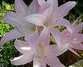 Flores de Açucena ? (241923563).jpg
