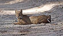 Le Lynx et son territoire dans LYNX 220px-Florida_Bobcat