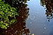 Florida mullet fishes Durante Community Park 2 Longboat Key.jpg