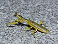 Flower Mantis (Galinthias amoena) (12932164473).jpg