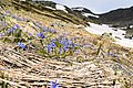 Flowers of Jablanica Mountain, Struga 16.jpg