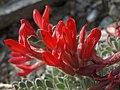 Flowers of scarlet loco, Astragalus coccineus (31848015010).jpg