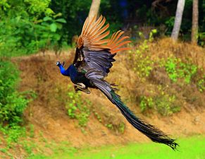 Flying Beauty Peacock.JPG