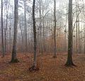 Foggy Durham woods 2.jpg