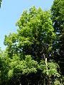 Forêt de la Robertsau-Frêne (2).JPG