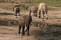 Forest elephant group 9 (6841412506).jpg