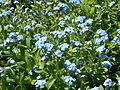 Forget-me-nots in Gunnersbury Triangle.JPG