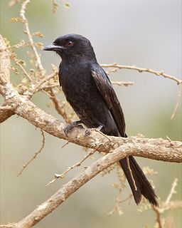 Fork-tailed drongo species of bird