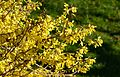 Forsythia and lawn.jpg