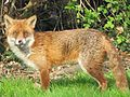 Fox (4510542763).jpg