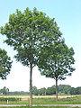 Fraxinus excelsior trees (Es).jpg