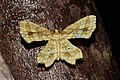 Fritillerinnys clathraria (Geometridae- Ennominae) (22280658244).jpg