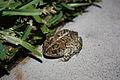 Froggie (2437234479).jpg