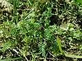 Fumaria officinalis 2019-03-30 8565.jpg