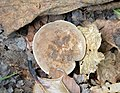 Fungi (24890526717).jpg