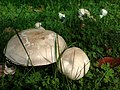 Fungus, Cranmore Park, Belfast - geograph.org.uk - 927095.jpg