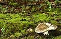 Fungus, Crawfordsburn Glen (4) - geograph.org.uk - 904536.jpg