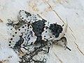 Furcula bicuspis - Alder kitten - Гарпия берёзовая (26266012117).jpg