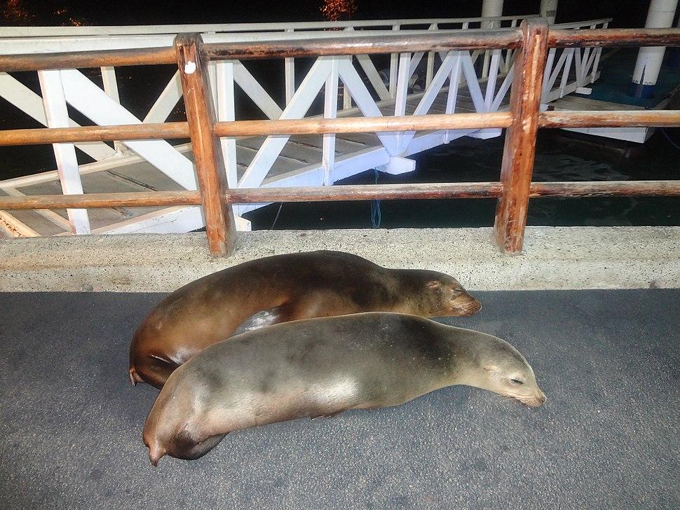 Galápagos sea lion (Zalophus wollebaeki) Puerto Ayora, Island of Santa Cruz
