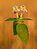 Galeopsis speciosa - Keila.jpg