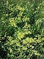 Galium ×pomeranicum sl1.jpg
