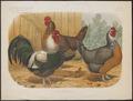 Gallus ferrugineus - 1881-1889 - Print - Iconographia Zoologica - Special Collections University of Amsterdam - UBA01 IZ17000123.tif