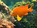 Garibaldi fish.jpg