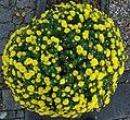 Gartenchrysantheme.jpg