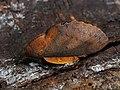 Gastropacha quercifolia ♂ - The Lappet (male) - Коконопряд дуболистный (самец) (42270971604).jpg