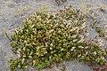 Gaultheria colensoi in Rangipo Desert 02.jpg