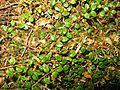 Gaultheria japonica 2.JPG