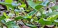 Gaultheria ovatifolia.jpg