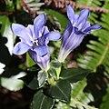 Gentiana sikokiana (flower s10).jpg
