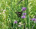 Giant Swallowtail (Papilio cresphontes) (6009870018).jpg
