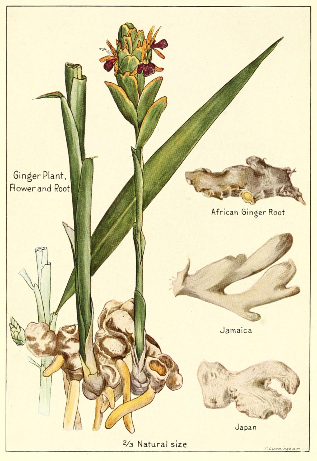 Ginger-plant-flower-root.png