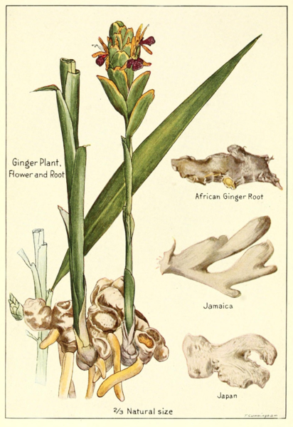 File:Ginger-plant-flower-root.png