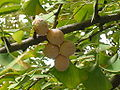 Ginkgo biloba seeds-001.jpg