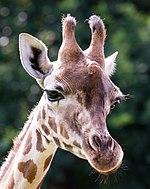 Giraffa - Serengeti-Park Hodenhagen 2017 03