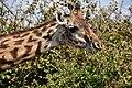 Giraffe, Ruaha National Park (6) (28121878054).jpg