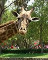 Giraffe ok.jpg