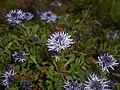 Globularia cordifolia 2016-05-17 0737.jpg