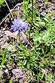 Globularia trichosantha, Հանդաղուղ, Шаровница волосоцветковая - panoramio.jpg