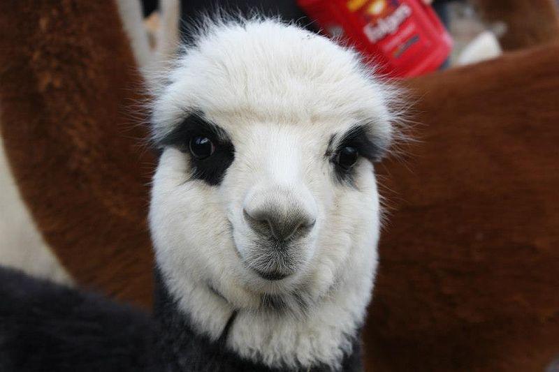 File:Gloucester the alpaca.jpg