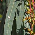 Glycaspis brimblecombei - Eucaliptus camaldulensis 20150824a.jpg